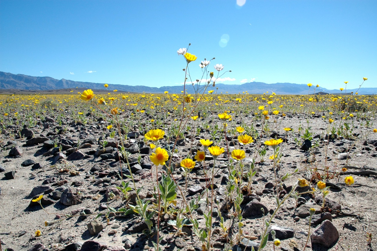Death Valley flowers