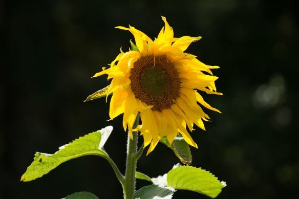 August Sunflower by Jim Friedrich